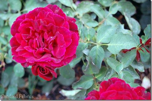 Roses_0005 copy