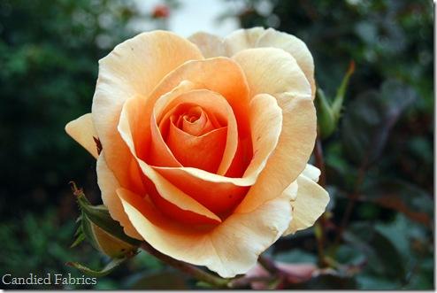 Roses_0010 copy