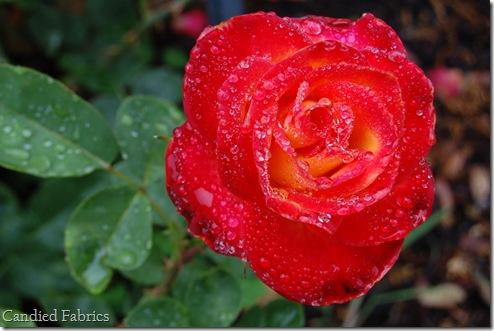 Roses_0022