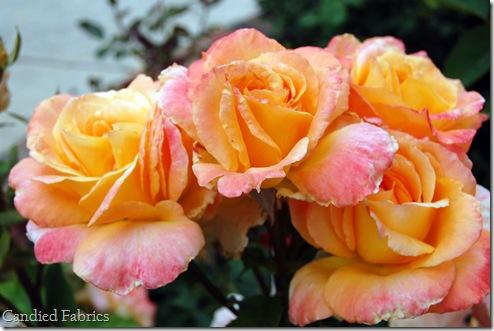 Roses_0031 copy