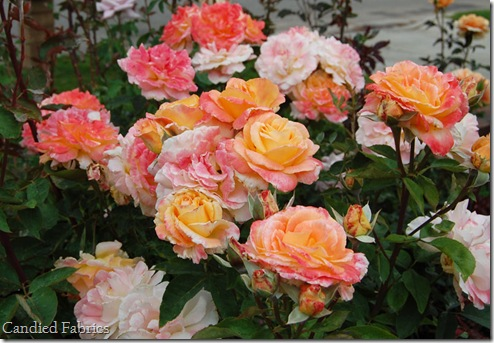 Roses_0033 copy