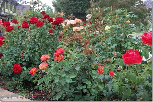 Roses_0036